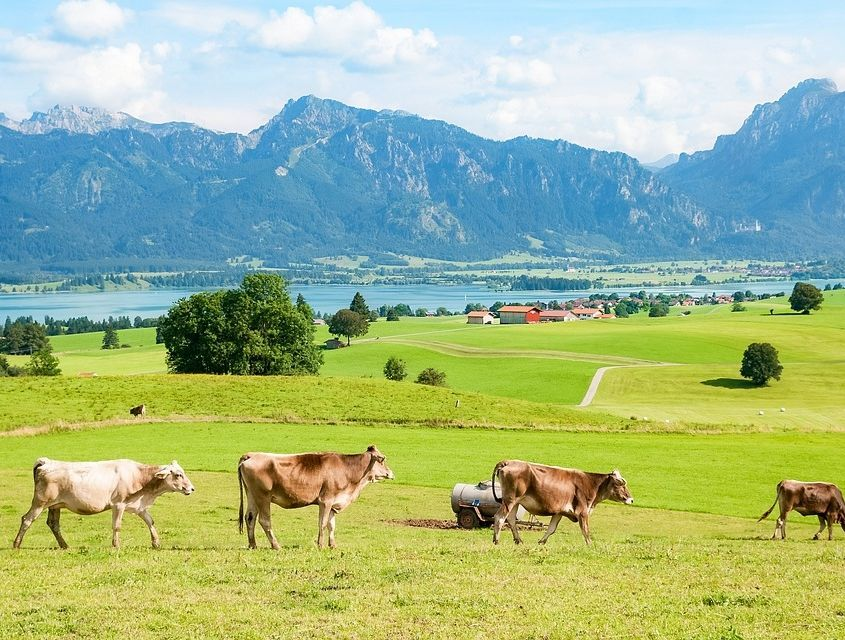 Kühe auf grüner Wiese vor Bergen