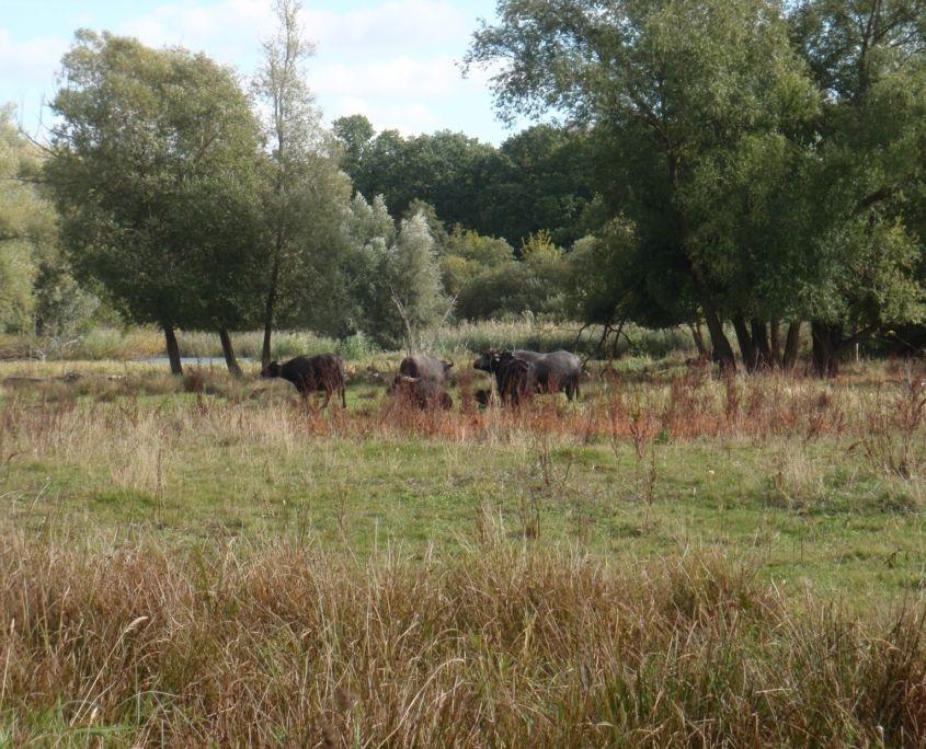 Wasserbüffel zwischen Bäumen