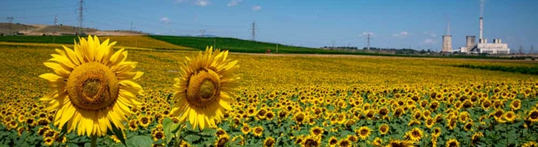 Sonnenblumenfeld in Griechenland.