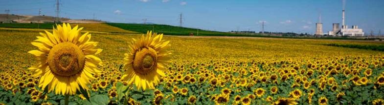 Sunflower field in Greece.